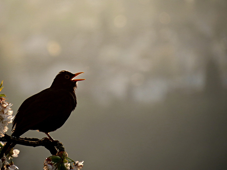 a singing blackbird