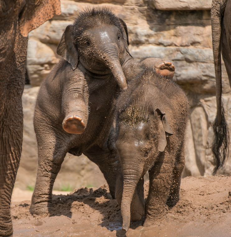 Two elephant calves at Chester Zoo