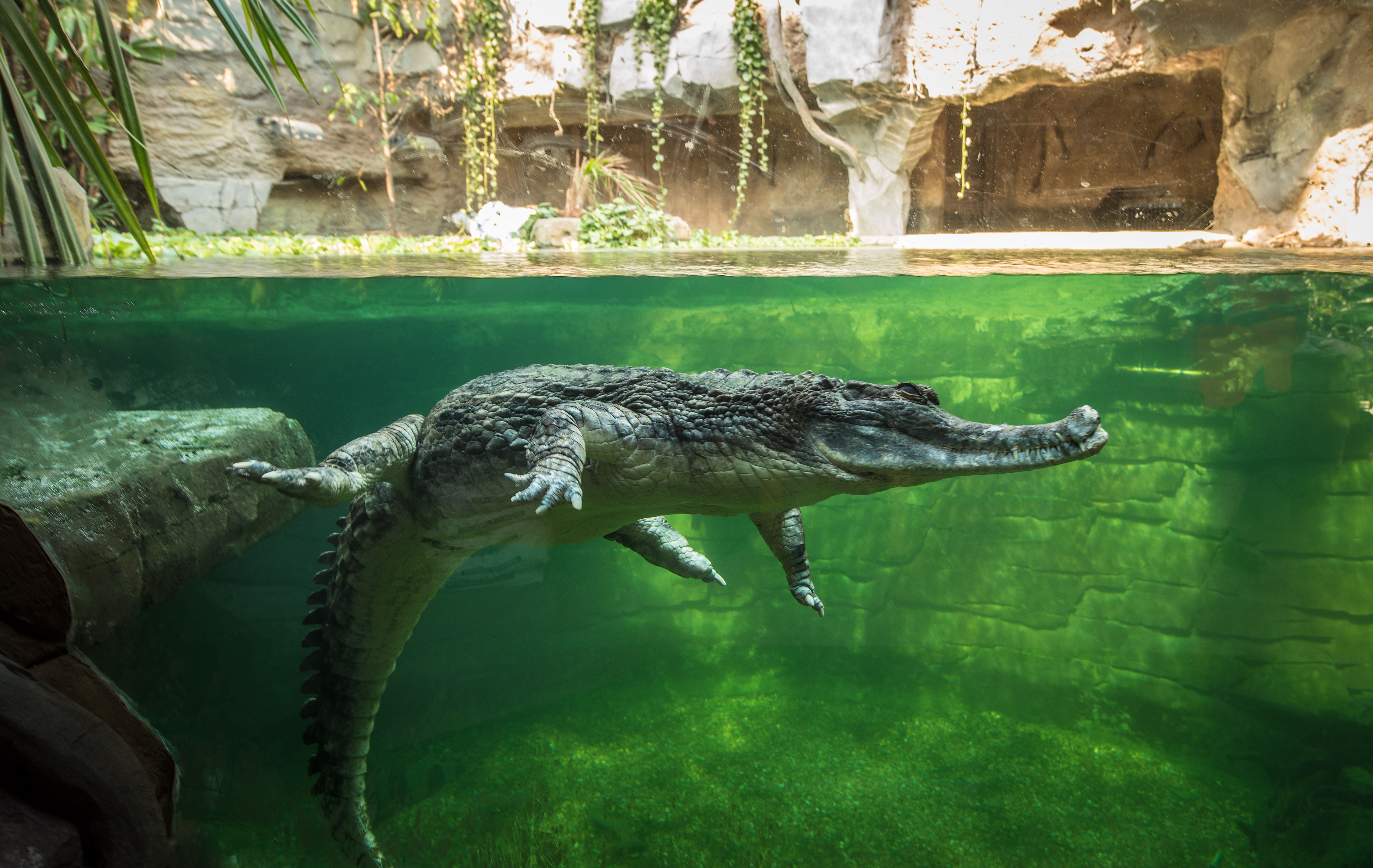 Sunda Gharial at the window of their habitat on Islands at Chester Zoo