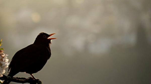 A blackbird in song