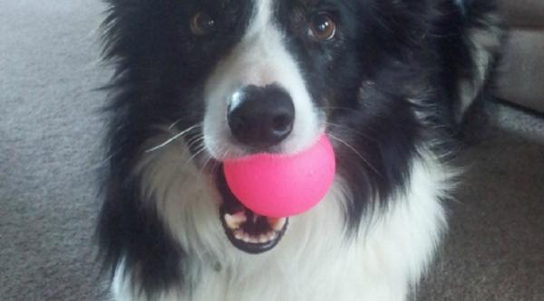 A black and white dog with a pink ball in her mouth